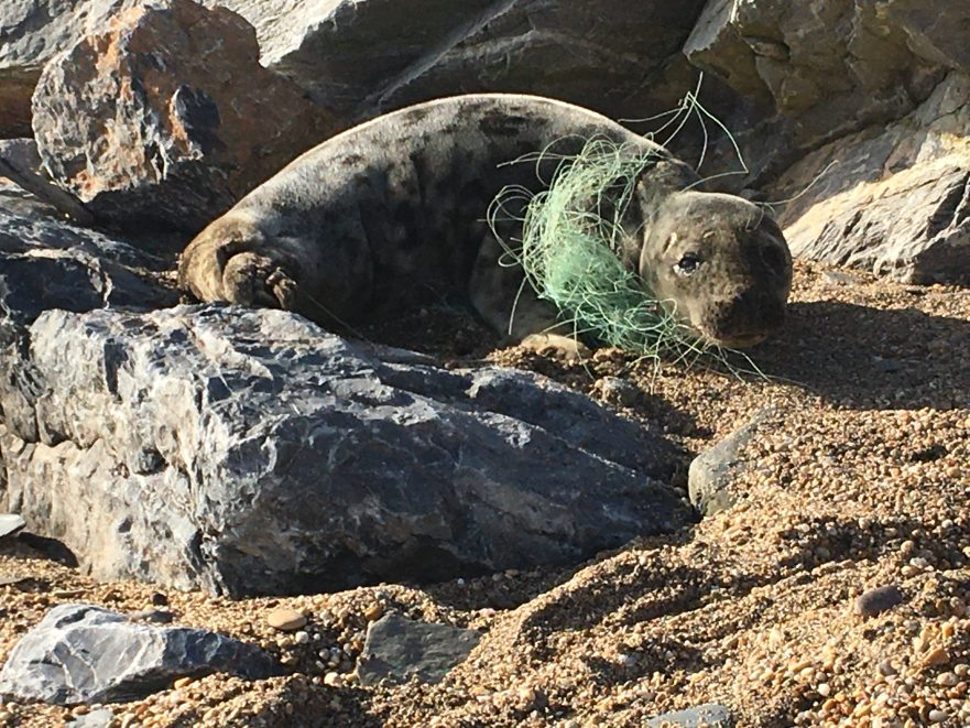 seal tangled in plastic fishing line